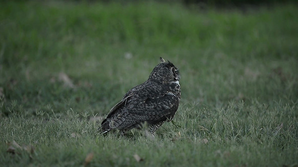 Owlet Hunting and Foraging