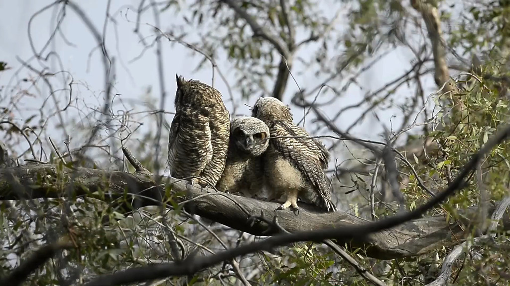 Great Horned Owl Videos
