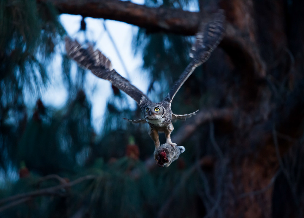 Great Horned Owls (2014)