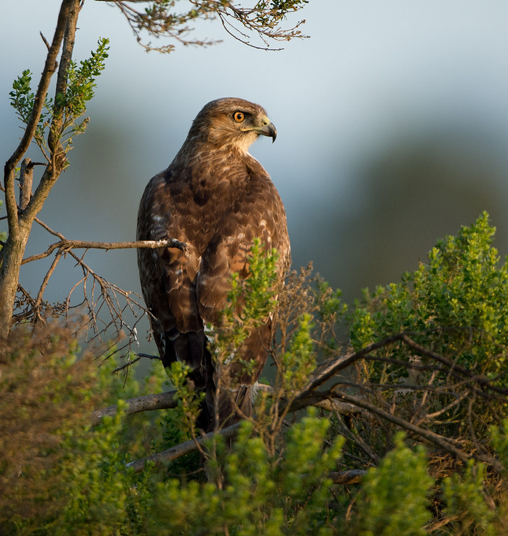 Adult Red-tailed Hawk who knows me all too well