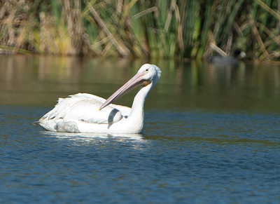 Pelican in distress on 10-25-12 with fishing line and plastic water bottle tying one wing and leg back, which prevented Firebird from flying. Rescue attempt failed on 10-25-12 but succeeded on 10-26-12.