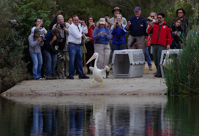 One small step for a Pelican with a nine-foot wingspan, one giant leap for mankind. Photo by Mike Stensvold.
