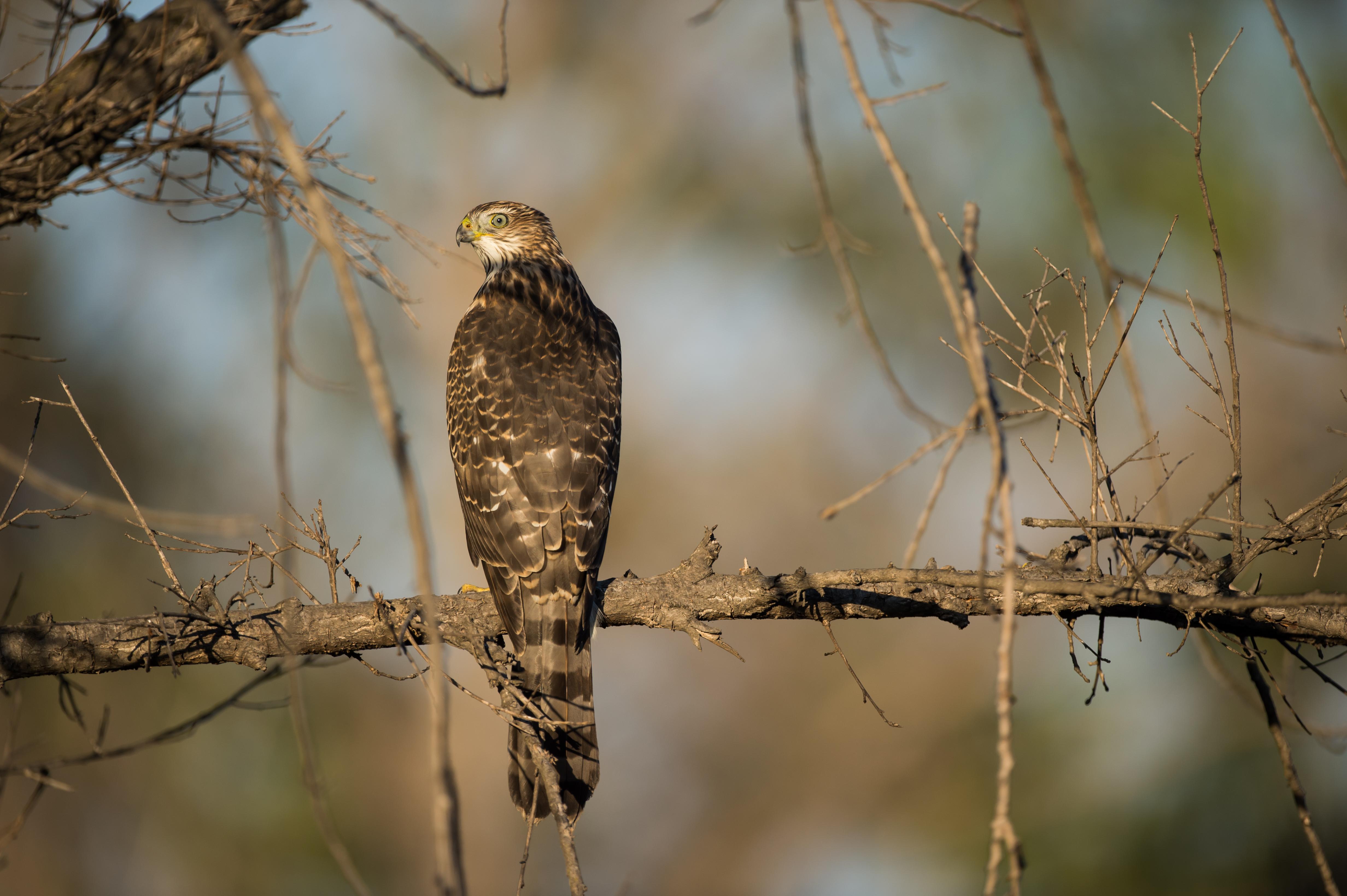 One year Cooper's  hawk hunting, 8-27-15.