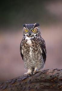 Owlet Greeting
