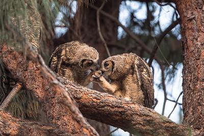 Owlets reunite at sunrise. Mama owl on-guard upper left, 1-June-2013