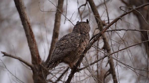 owlsmating