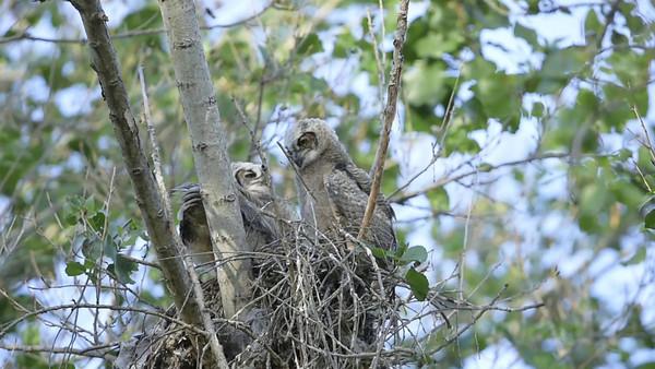 All three owlets branching, 9-Apr-2014.