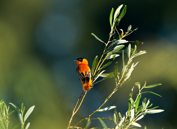 Orange Bishop (Euplectes franciscanus)